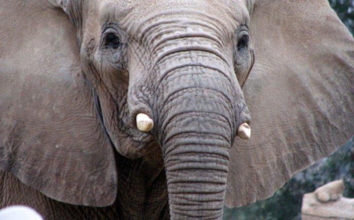 Более 25 лучших идей на тему «Африканский слон» на Pinterest