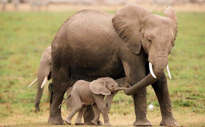 через объектив: Красивые фотографии слонов и маленьких слонят
