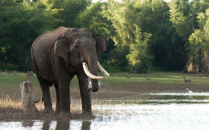 или азиатский слон (лат. Elephas maximus)