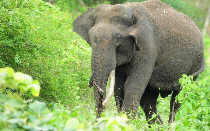 Индийский слон | Животные
