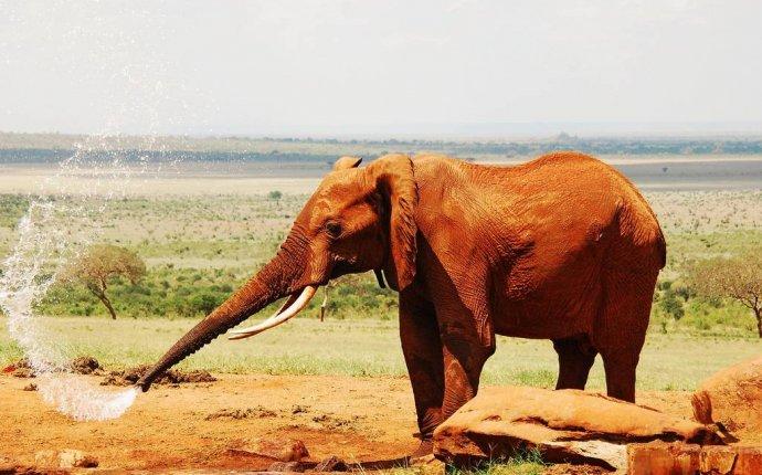 Какого цвета слон фото