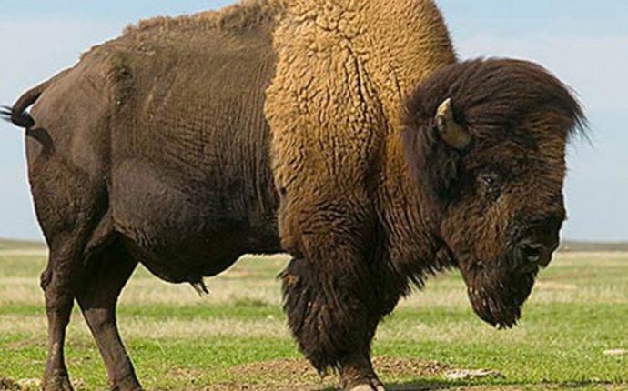 Материк, где обитает животное бизон, внешний вид и особенности