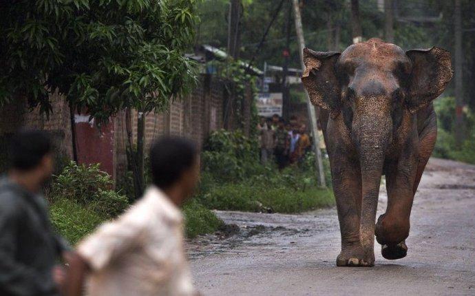 На востоке Индии от нападения слонов погибает больше людей, чем от
