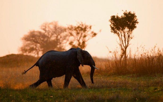 Почему слоны не болеют раком — National Geographic Россия