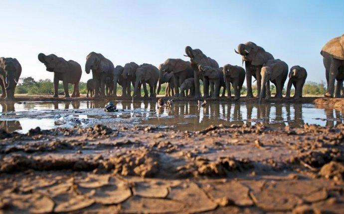 погружается в грязную лужу, чтобы снять слонов на водопое