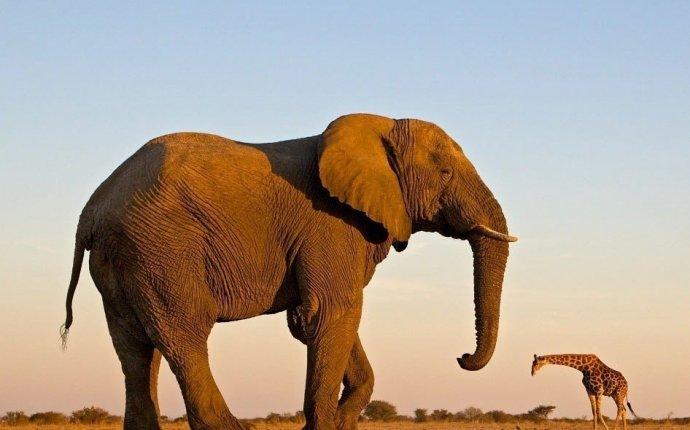 Самый большой слон в мире))