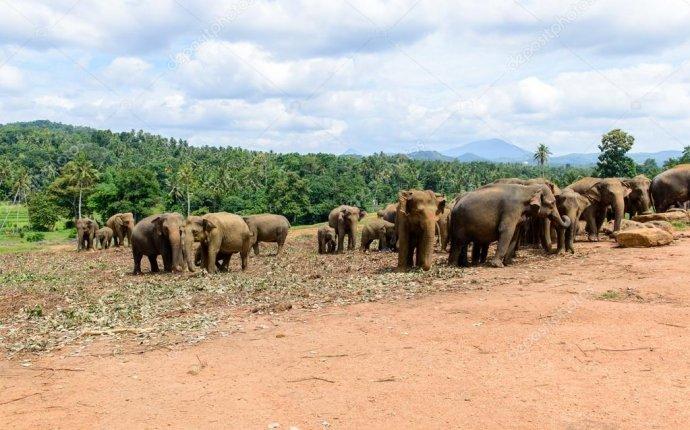Шри-Ланка. Слон святилище. Pinavella — Стоковое фото © zybilo