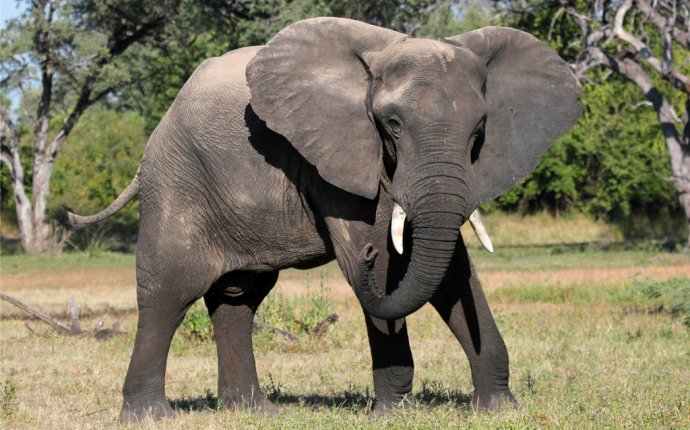 слон)