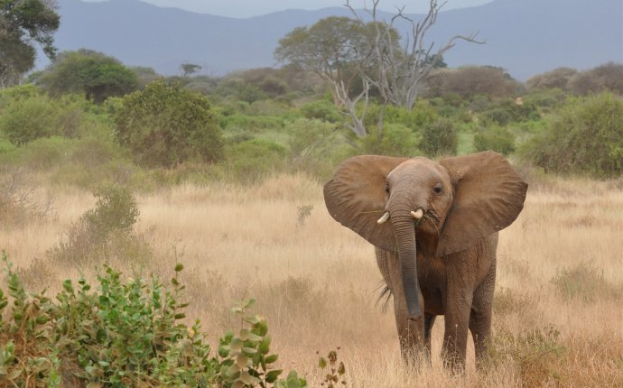 слон (лат. Loxodonta africana)