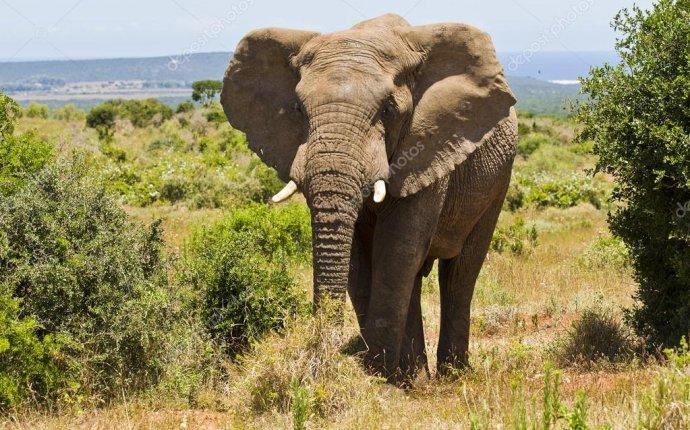 слон стоит между двух кустов — стоковое фото #95046632