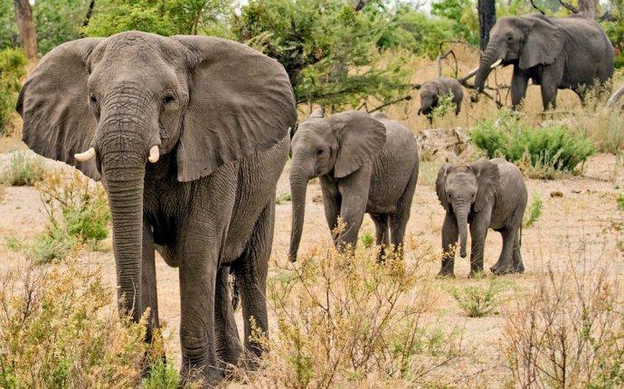Слоны (лат. Elephantidae) - Африканские и индийские слоны