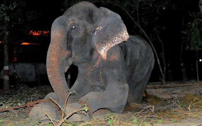 В Индии заплакал слон, который провел полвека в цепях