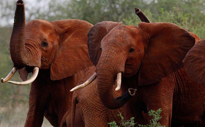 В Кении дикий слон убил решившего сфотографировать его туриста