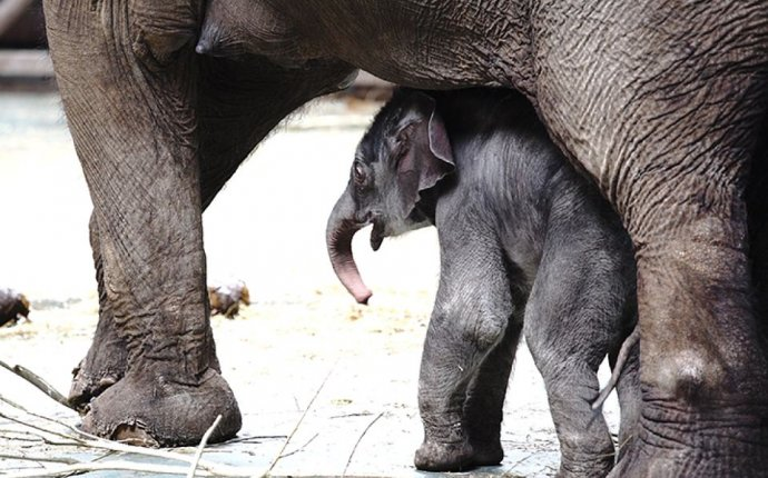 В Московском зоопарке родился красавец-слоненок